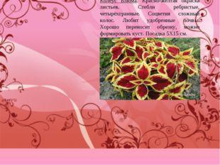 Колеус Блюма. Красно-жёлтая окраска листьев. Стебли ребристые, четырёхгранные
