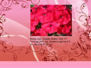Флокс сорт Огонёк. Вывел сорт П.Г Гаганов 1940 год. Диаметр цветка-4.5 см., в