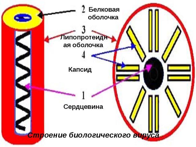 Сердцевина Капсид Белковая оболочка Липопротеидная оболочка Строение биологич...