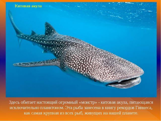 Китовая акула Здесь обитает настоящий огромный «монстр» - китовая акула, пита...
