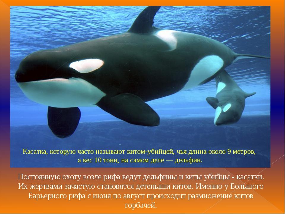 Касатка, которую часто называют китом-убийцей, чья длина около 9 метров, а ве...
