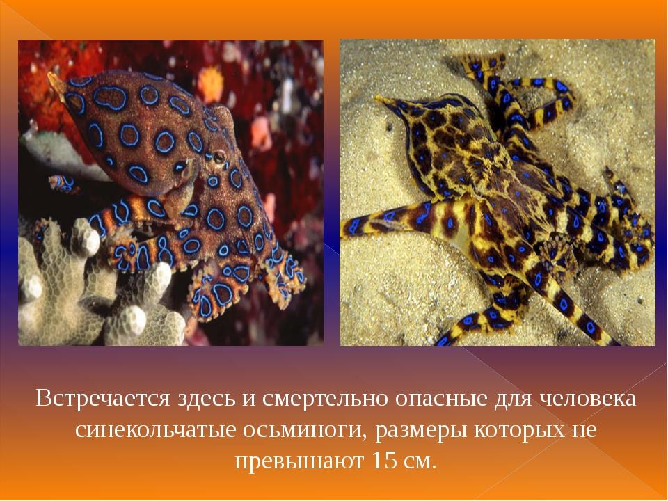 Встречается здесь и смертельно опасные для человека синекольчатые осьминоги,...