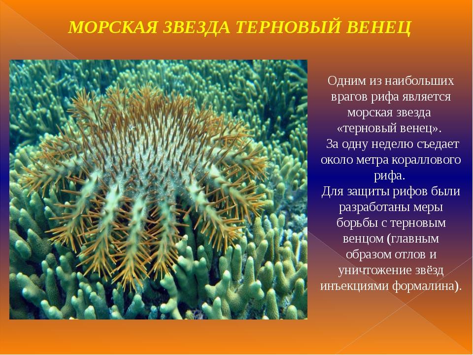 Одним из наибольших врагов рифа является морская звезда «терновый венец». За...
