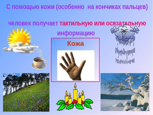 С помощью кожи (особенно на кончиках пальцев) человек получает тактильную или...