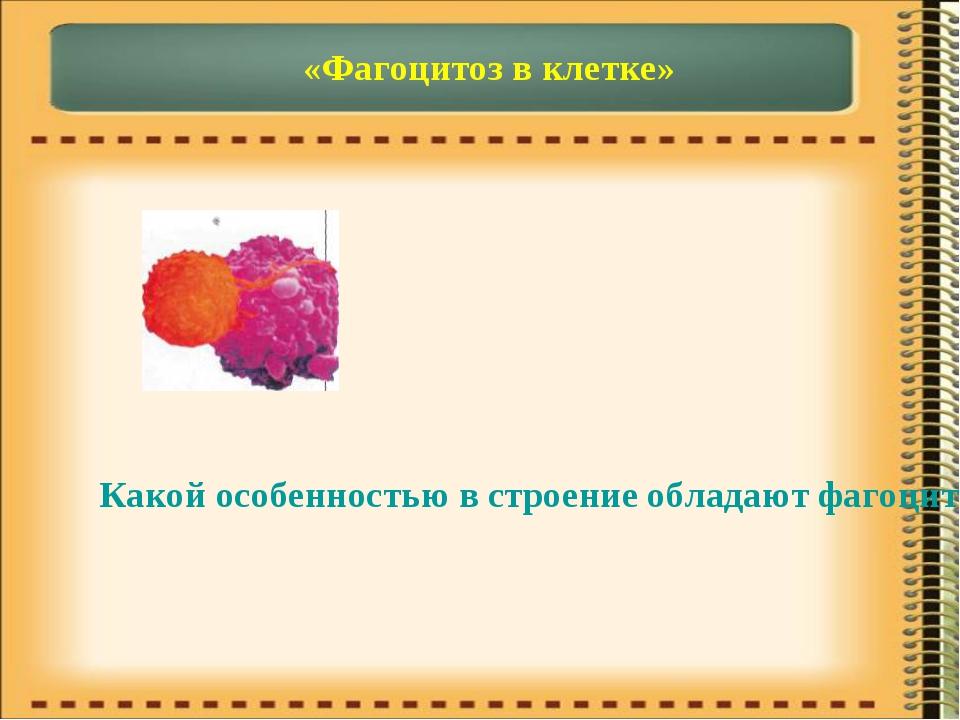 «Фагоцитоз в клетке» Какой особенностью в строение обладают фагоциты и лимфоц...
