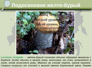 Подосиновик желто-бурый Leccinum versipelle - жёлто-бурый осиновик обычно обр