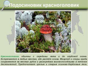 Подосиновик красноголовик Красноголовики обычны с середины лета и до глубокой