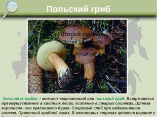 Польский гриб Xerocomus badius – моховик каштановый или польский гриб. Встреч