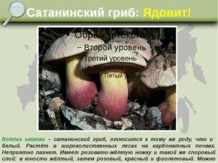 Сатанинский гриб: Ядовит! Boletus satanas – сатанинский гриб, относится к том