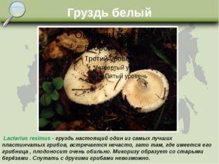 Груздь белый Lactarius resimus - груздь настоящий один из самых лучших пласти
