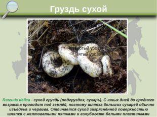 Груздь сухой Russula delica - сухой груздь (подгруздок, сухарь). С юных дней