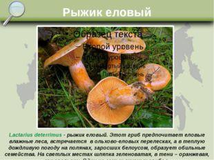 Рыжик еловый Lactarius deterrimus - рыжик еловый. Этот гриб предпочитает елов