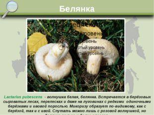 Белянка Lactarius pubescens - волнушка белая, белянка. Встречается в берёзовы