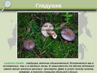 Гладушка Lactarius trivialis - гладушка, млечник обыкновенный. Встречается ка