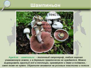 Шампиньон Agaricus - шампиньон – типичный сапротроф, любит хорошо унавоженную
