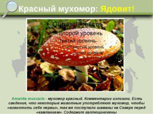 Красный мухомор: Ядовит! Amanita muscaria - мухомор красный. Комментарии изли