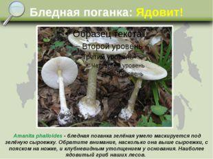 Бледная поганка: Ядовит! Amanita phalloides - бледная поганка зелёная умело м