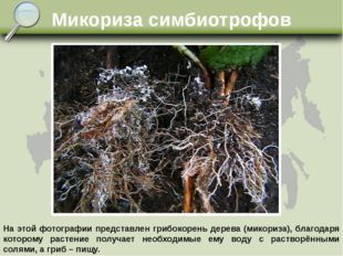 Микориза симбиотрофов На этой фотографии представлен грибокорень дерева (мико