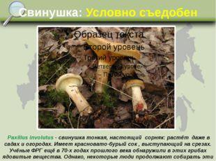 Свинушка: Условно съедобен Paxillus involutus - свинушка тонкая, настоящий со
