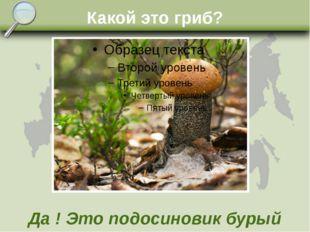 Какой это гриб? Да ! Это подосиновик бурый