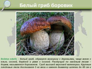 Белый гриб боровик Boletus edulis – белый гриб, образует микоризу с деревьями
