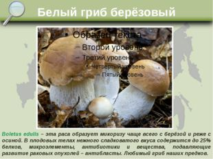 Белый гриб берёзовый Boletus edulis – эта раса образует микоризу чаще всего с
