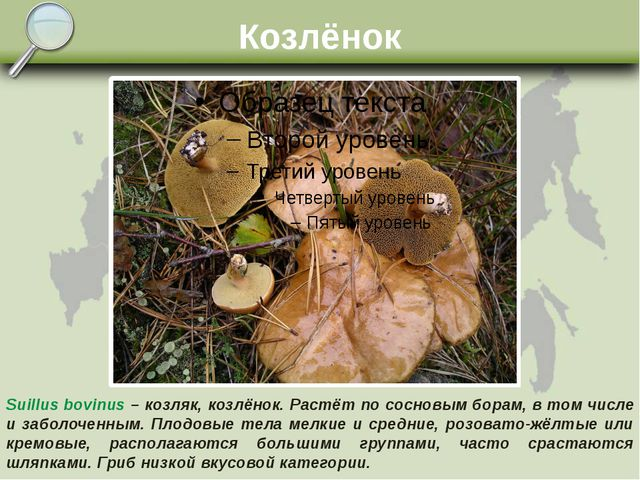 Козлёнок Suillus bovinus – козляк, козлёнок. Растёт по сосновым борам, в том...