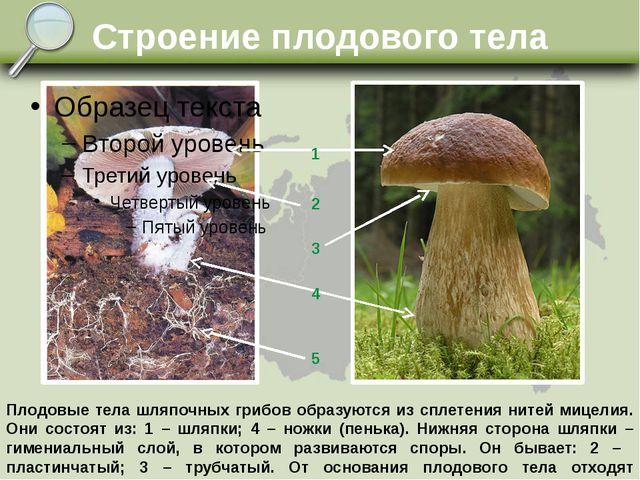 Строение плодового тела 1 2 3 4 5 Плодовые тела шляпочных грибов образуются и...