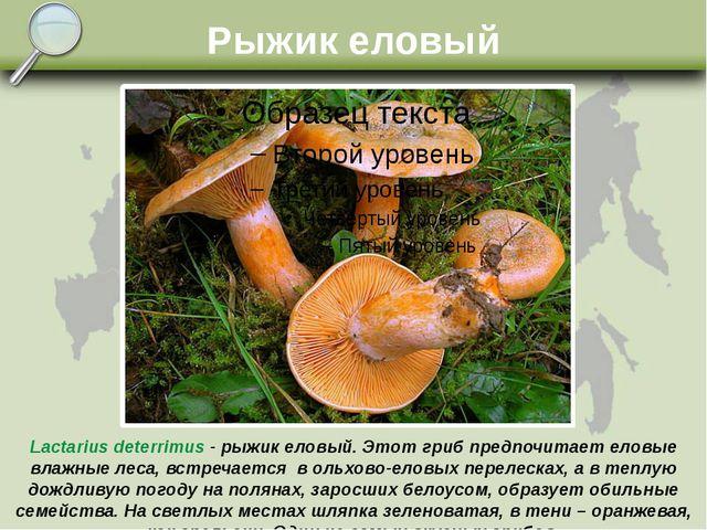 Рыжик еловый Lactarius deterrimus - рыжик еловый. Этот гриб предпочитает елов...