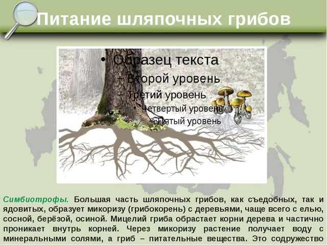 Питание шляпочных грибов Симбиотрофы. Большая часть шляпочных грибов, как съе...