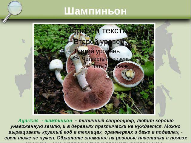 Шампиньон Agaricus - шампиньон – типичный сапротроф, любит хорошо унавоженную...