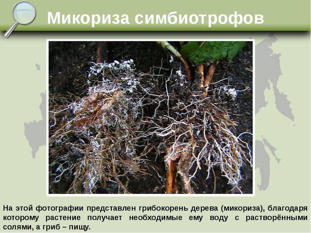 Микориза симбиотрофов На этой фотографии представлен грибокорень дерева (мико...