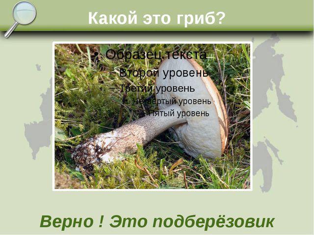 Какой это гриб? Верно ! Это подберёзовик