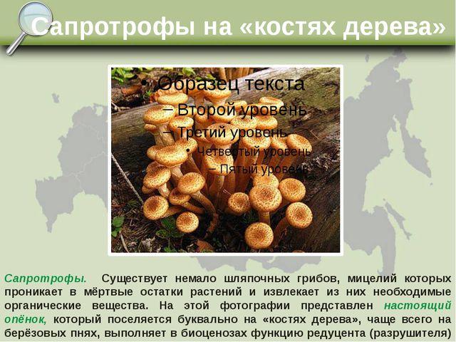 Сапротрофы на «костях дерева» Сапротрофы. Существует немало шляпочных грибов...