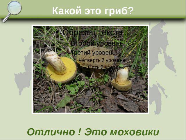 Какой это гриб? Отлично ! Это моховики
