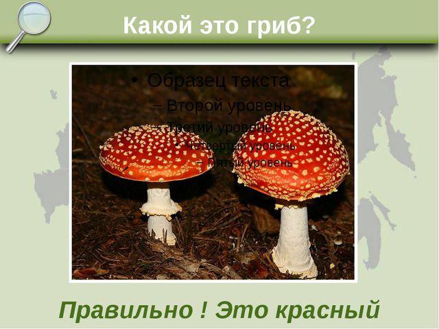 Какой это гриб? Правильно ! Это красный мухомор