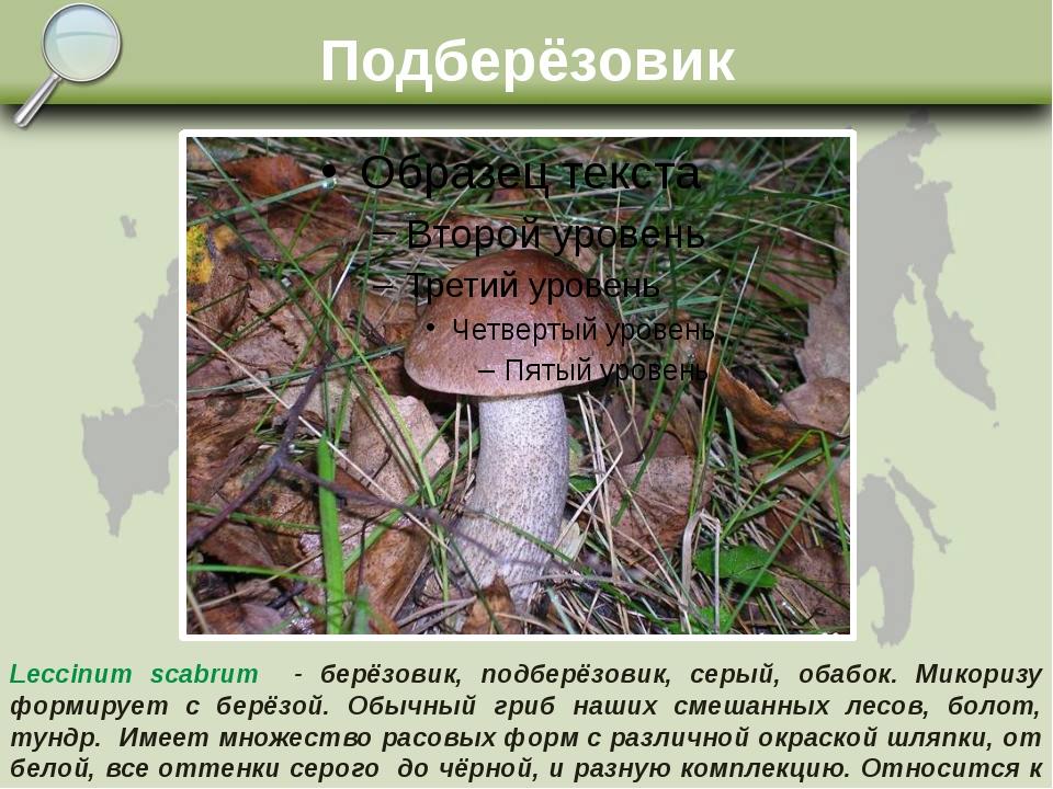 Подберёзовик Leccinum scabrum - берёзовик, подберёзовик, серый, обабок. Микор...