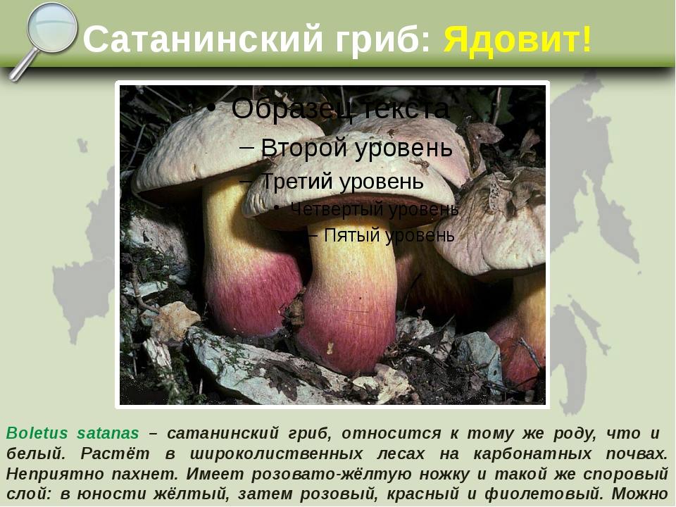 Сатанинский гриб: Ядовит! Boletus satanas – сатанинский гриб, относится к том...