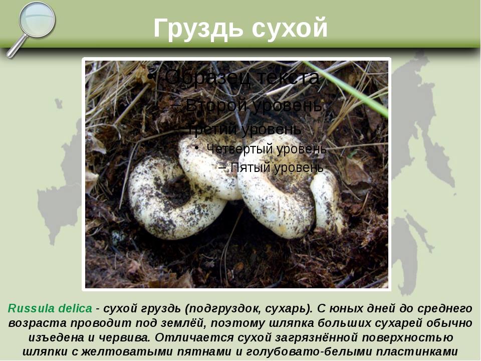 Груздь сухой Russula delica - сухой груздь (подгруздок, сухарь). С юных дней...