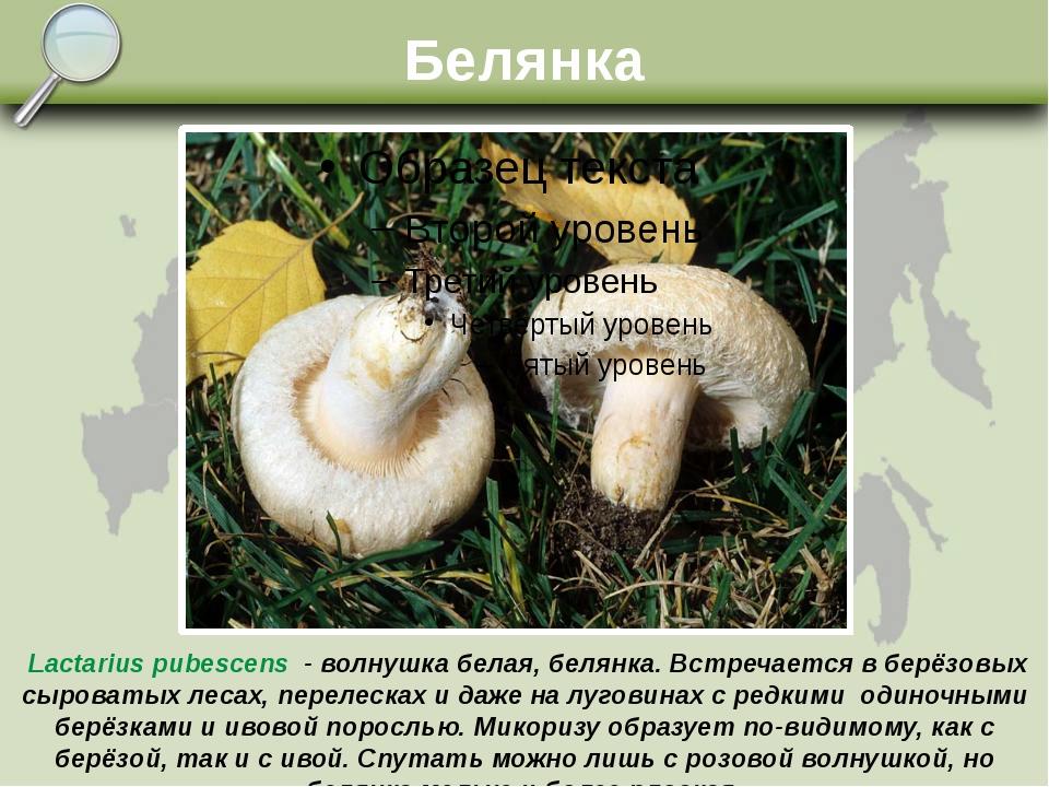 Белянка Lactarius pubescens - волнушка белая, белянка. Встречается в берёзовы...