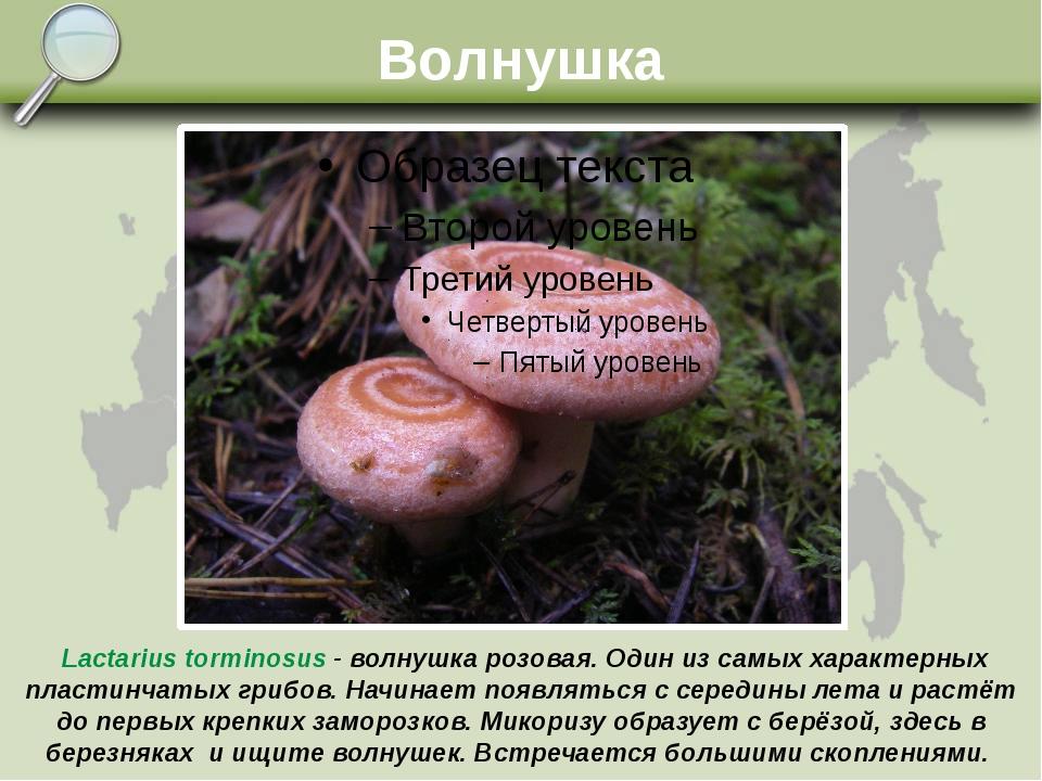 Волнушка Lactarius torminosus - волнушка розовая. Один из самых характерных п...
