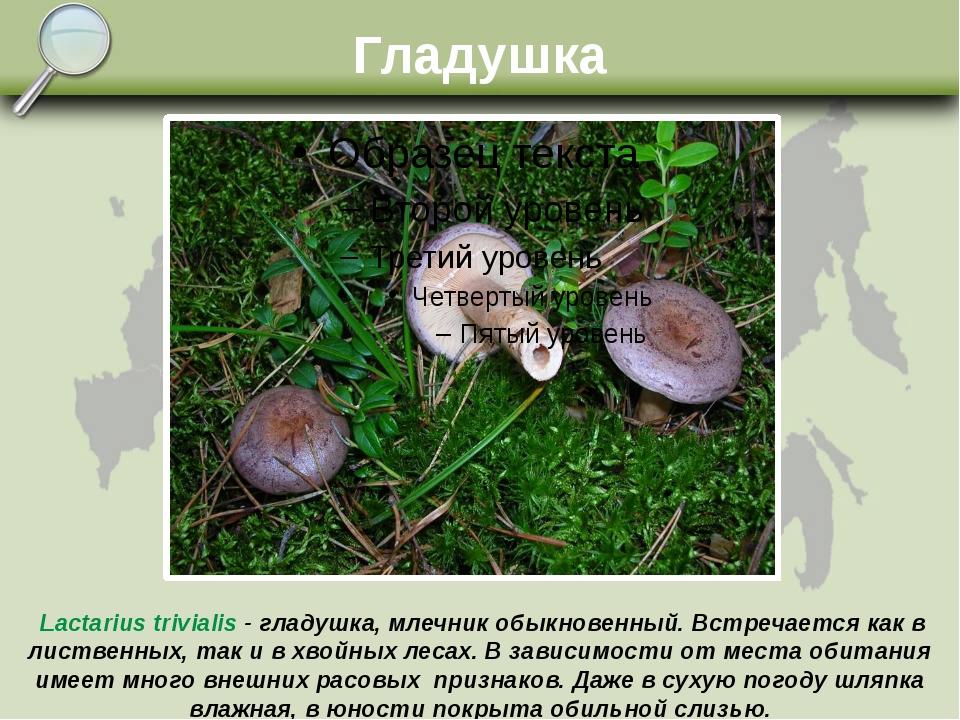 Гладушка Lactarius trivialis - гладушка, млечник обыкновенный. Встречается ка...
