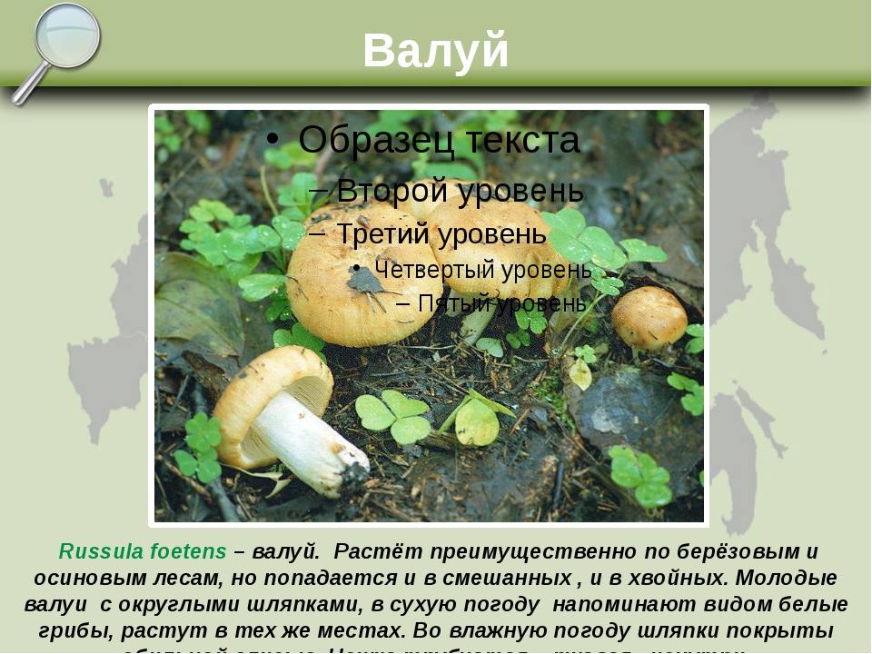 Валуй Russula foetens – валуй. Растёт преимущественно по берёзовым и осиновым...