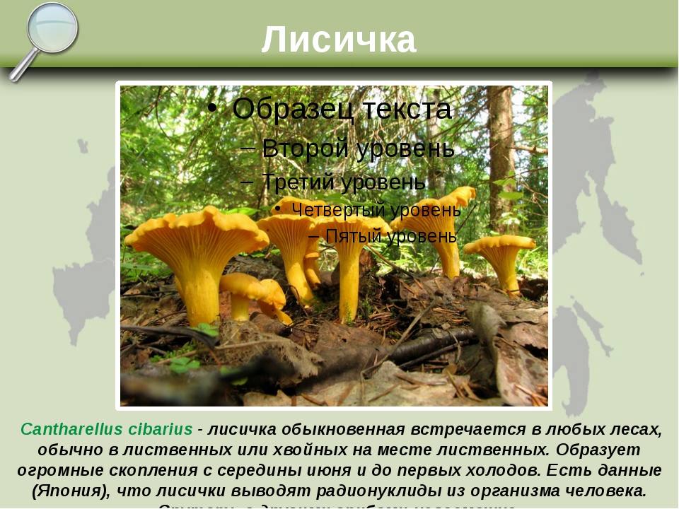 Лисичка Cantharellus cibarius - лисичка обыкновенная встречается в любых леса...