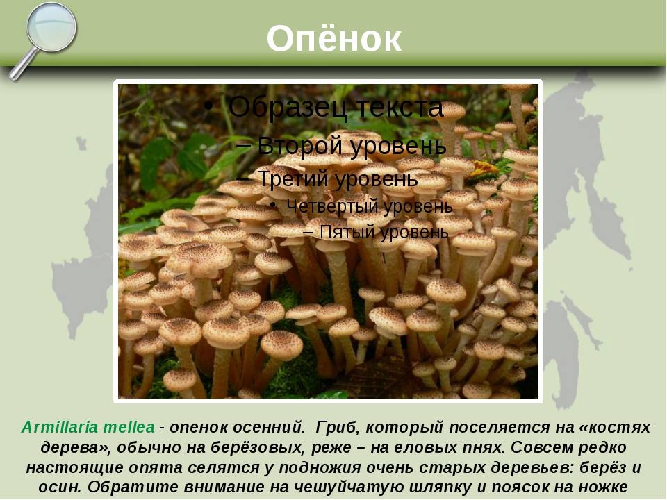 Опёнок Armillaria mellea - опенок осенний. Гриб, который поселяется на «костя...