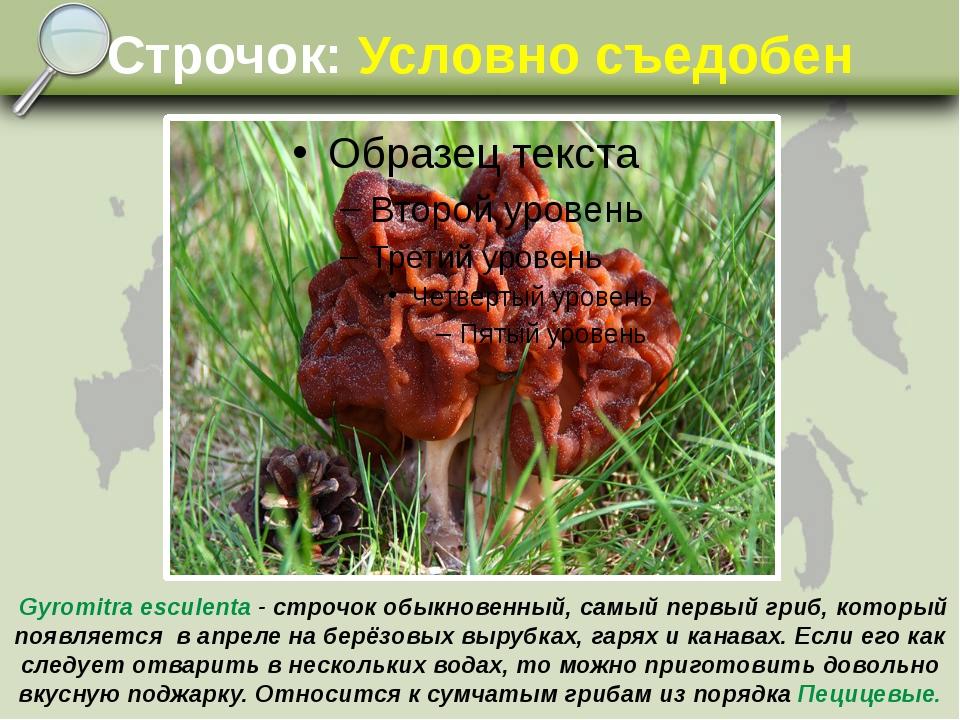 Строчок: Условно съедобен Gyromitra esculenta - строчок обыкновенный, самый п...