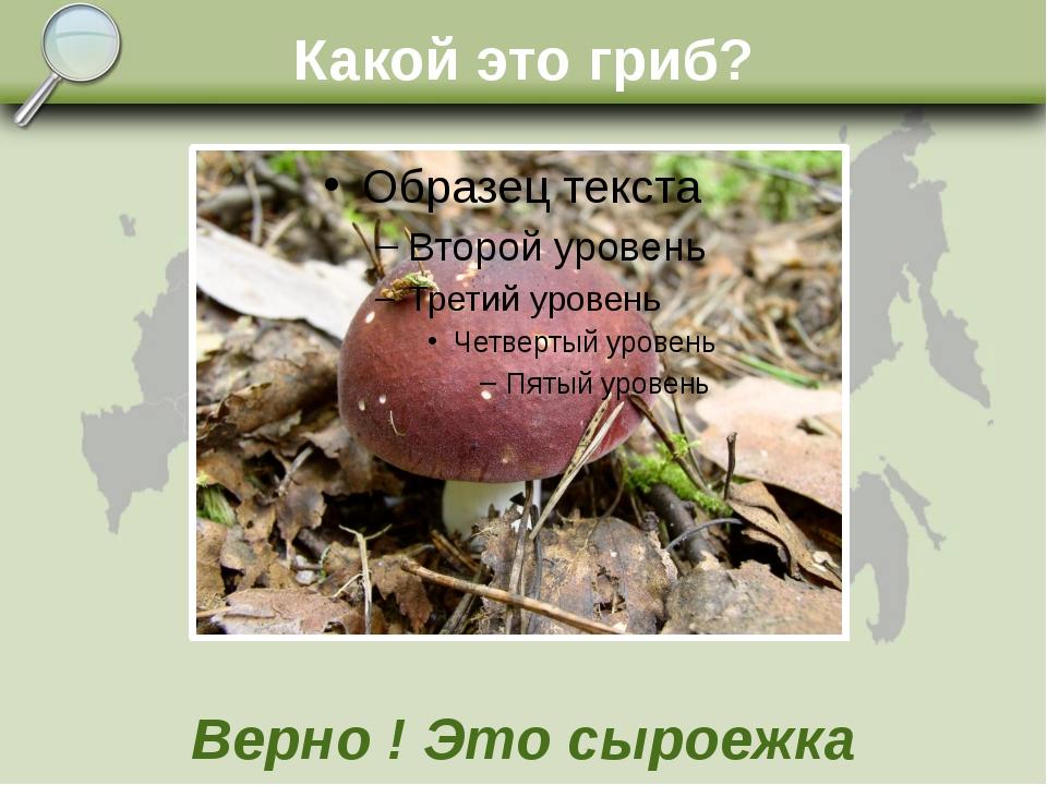 Какой это гриб? Верно ! Это сыроежка