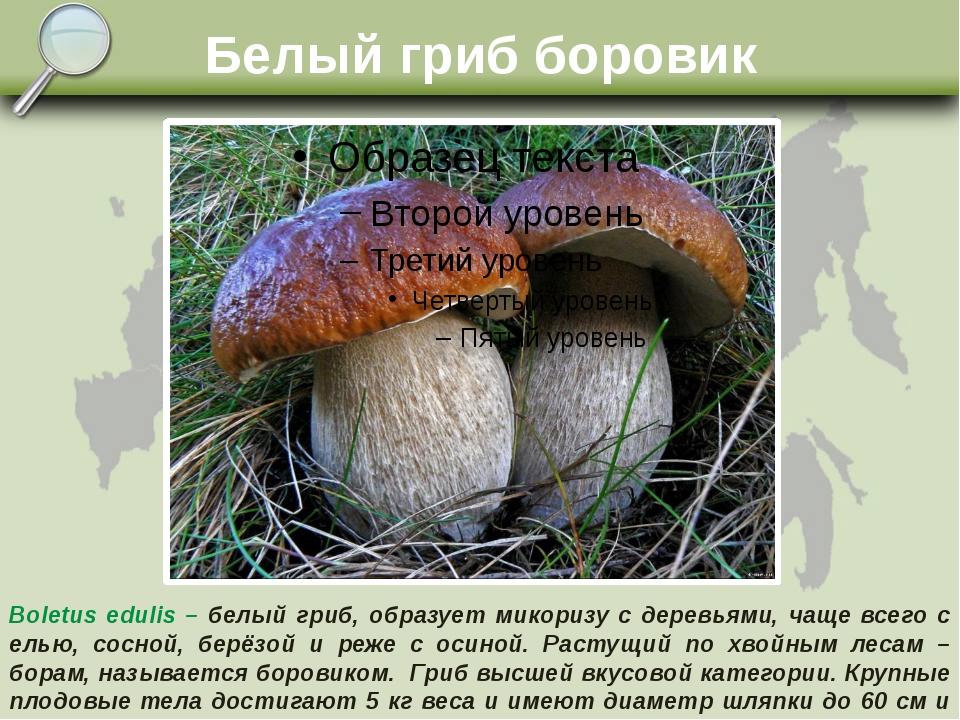 Белый гриб боровик Boletus edulis – белый гриб, образует микоризу с деревьями...