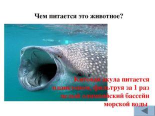 Чем питается это животное? Китовая акула питается планктоном, фильтруя за 1 р
