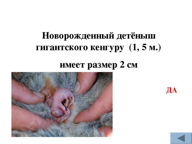 Новорожденный детёныш гигантского кенгуру (1, 5 м.) имеет размер 2 см ДА
